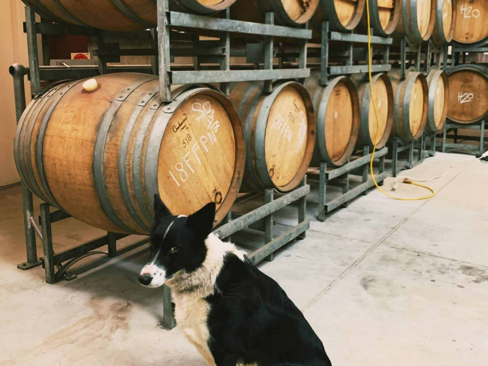 dog in front of wine barrels