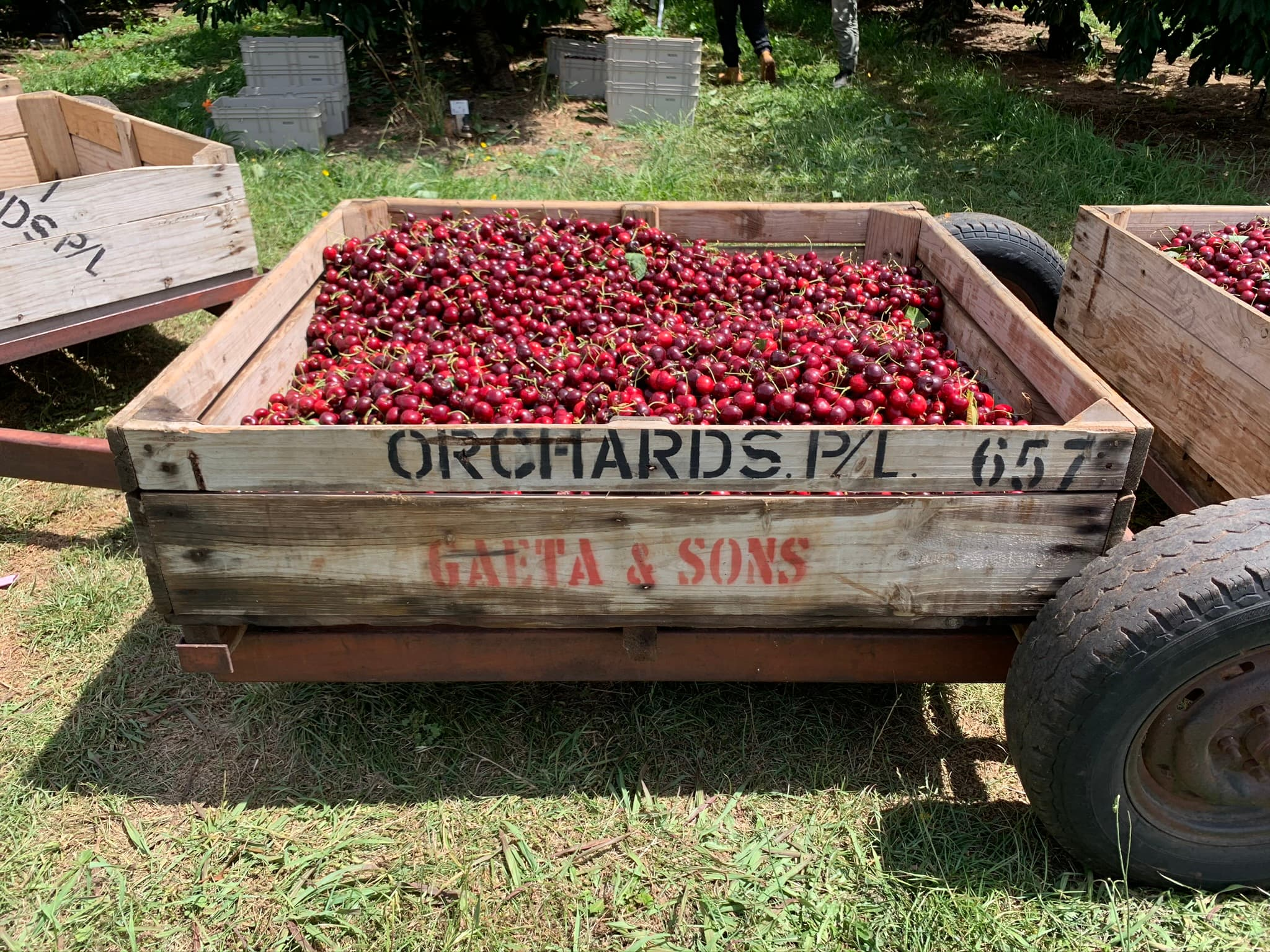 cherries in a box on an orchard