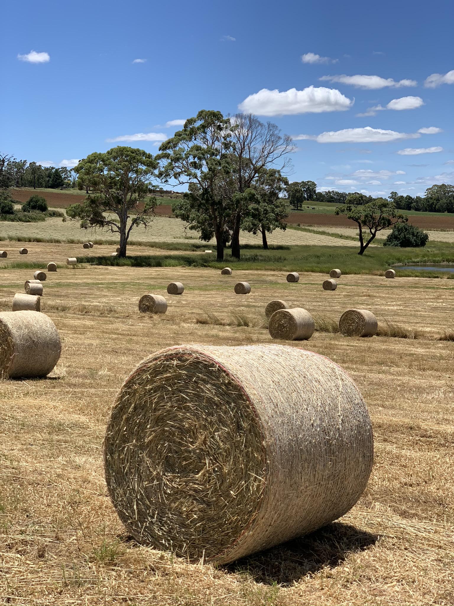 bales of hay in paddock