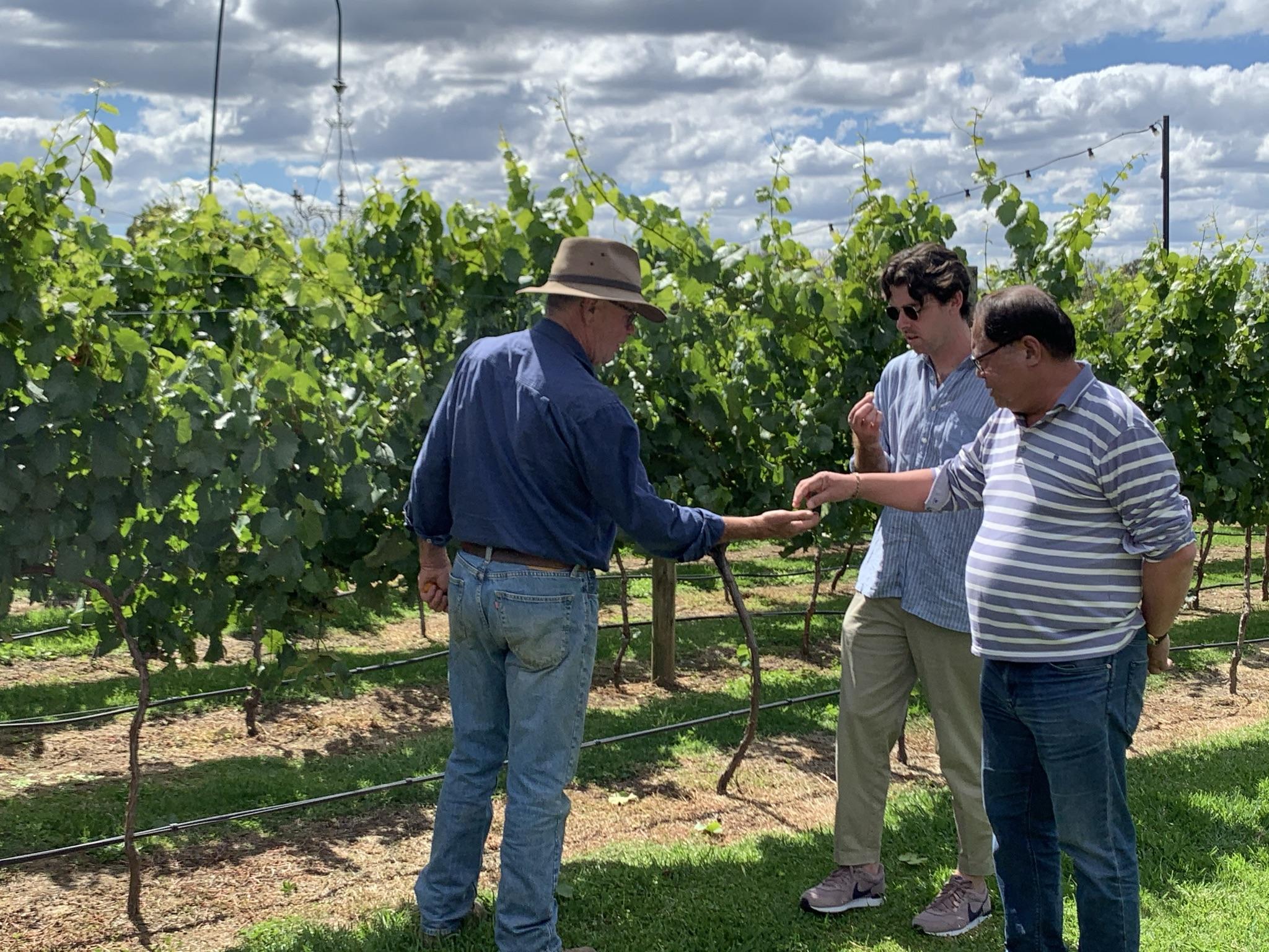 3 men sampling grapes at vineyard